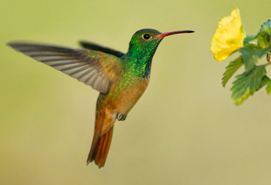 Buff-bellied Hummingbird - Bird Species | Frinvelis jishebi | ფრინველის ჯიშები