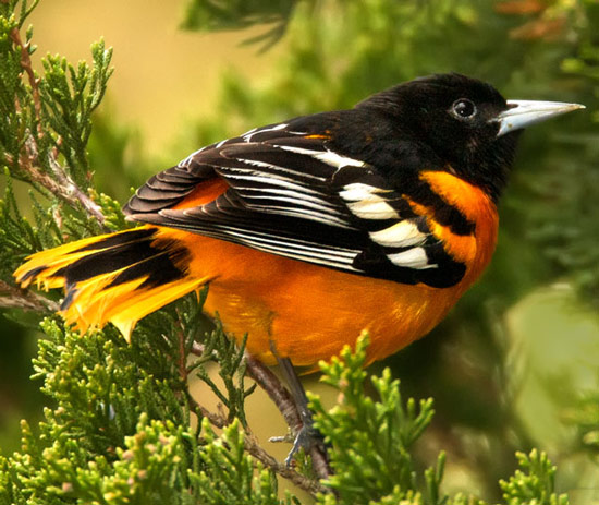 Baltimore Oriole - Bird Species | Frinvelis jishebi | ფრინველის ჯიშები