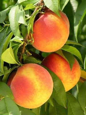 Gloria - Peach Varieties