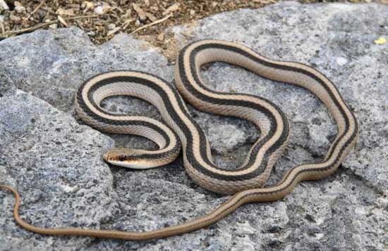 Salvadora grahamiae grahamiae - Mountain Patch-nosed Snake - snake species | gveli | გველი