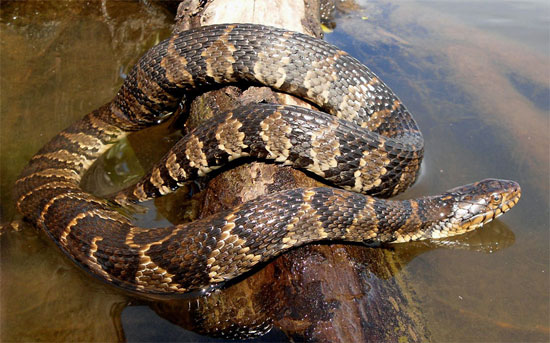 Nerodia sipedon - Northern Watersnake - snake species | gveli | გველი