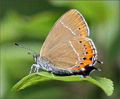 Black Hairstreak - Butterfly species | PEPLIS JISHEBI | პეპლის ჯიშები
