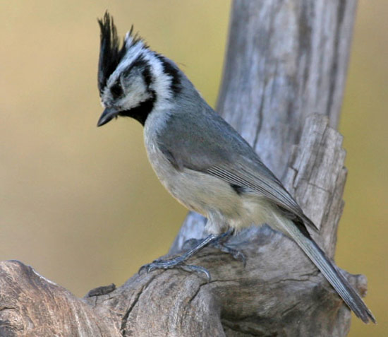Bridled Titmouse - Bird Species | Frinvelis jishebi | ფრინველის ჯიშები