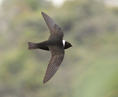 White-collared Swift - Bird Species | Frinvelis jishebi | ფრინველის ჯიშები