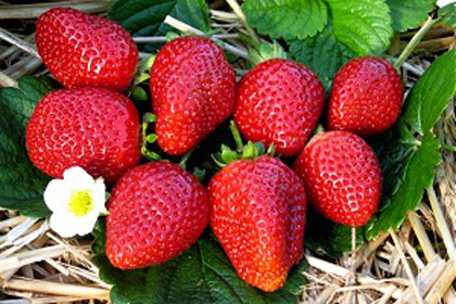 Albion - Strawberry Varieties