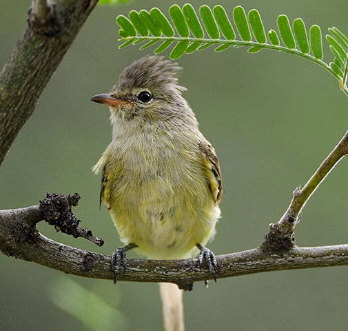 Northern Beardless-Tyrannulet - Bird Species | Frinvelis jishebi | ფრინველის ჯიშები