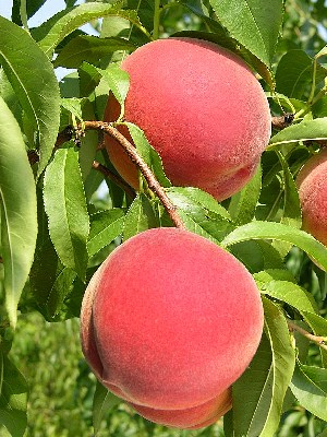 Messina - Peach Varieties