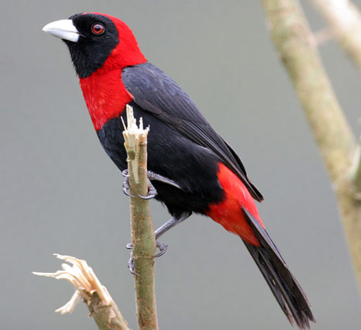 Crimson-collared Grosbeak - Bird Species | Frinvelis jishebi | ფრინველის ჯიშები
