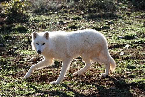 The Alaskan Tundra Wolf - wolf species | mglis jishebi | მგლის ჯიშები