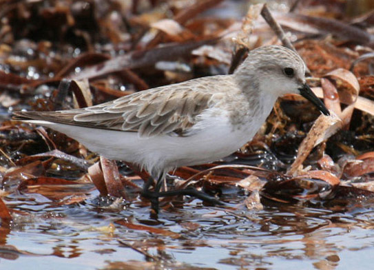 Red-necked Stint - Bird Species | Frinvelis jishebi | ფრინველის ჯიშები