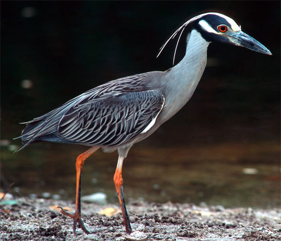 Yellow-crowned Night-Heron - Bird Species | Frinvelis jishebi | ფრინველის ჯიშები