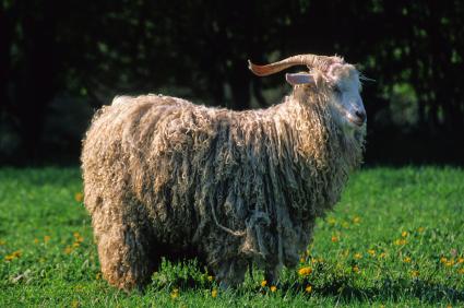 Goat breeds - Angora Goat