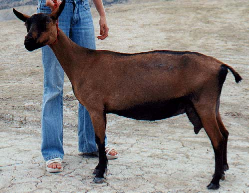 Chamois Colored Goat - goats Breeds | txis jishebi | თხის ჯიშები