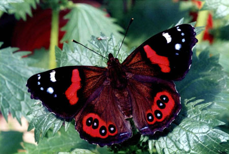 Red Admiral - Butterfly species | PEPLIS JISHEBI | პეპლის ჯიშები