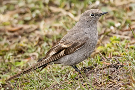 Townsend's Solitaire - Bird Species | Frinvelis jishebi | ფრინველის ჯიშები