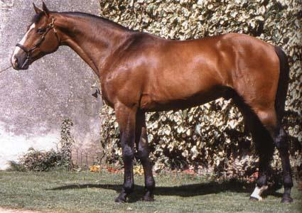 Horse Breeds Selle Francais
