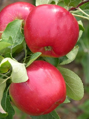 Redfree - Apple Varieties