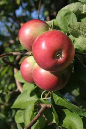 Rogers Red McIntosh - Apple Varieties