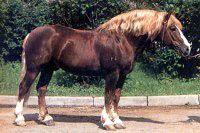 Russian heavy draft 1 horse breeds