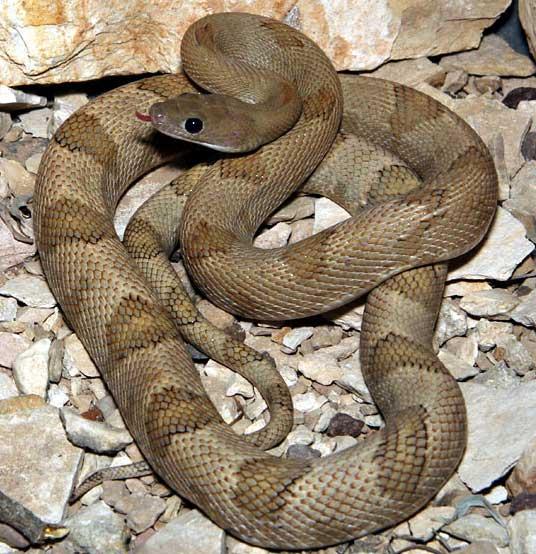 Snake Species - Bogertophis subocularis subocularis - Trans
