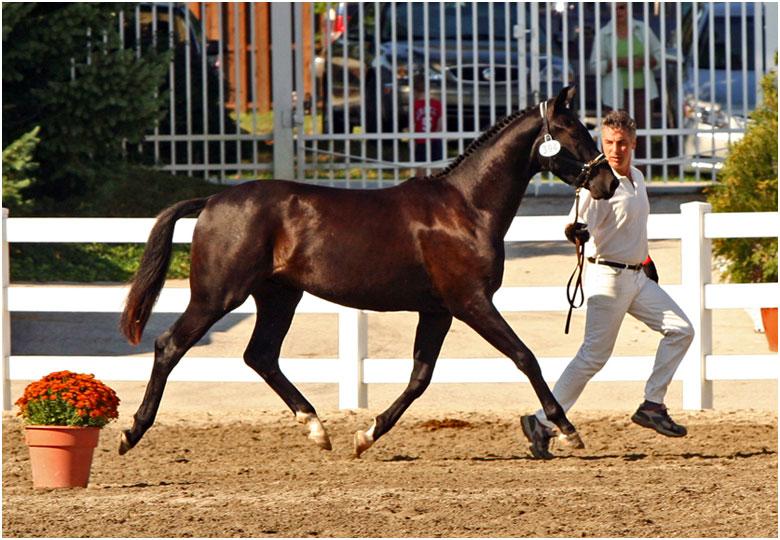 horse breeds oldenburg. Black Bedroom Furniture Sets. Home Design Ideas
