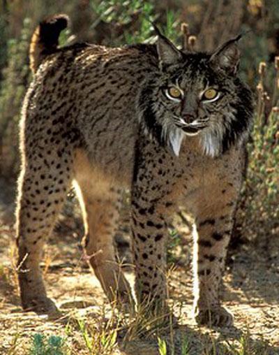 Worksheet. WILD CATS  LYNX  Iberian Lynx