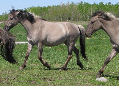 Horse Breeds - American Sorraia Mustang