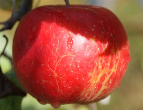 Beacon - Apple Varieties