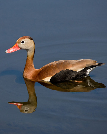 Black-bellied Whistling-Duck - Bird Species | Frinvelis jishebi | ფრინველის ჯიშები