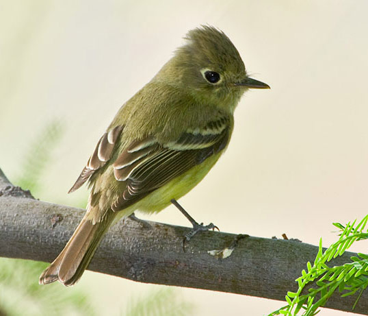 Cordilleran Flycatcher - Bird Species | Frinvelis jishebi | ფრინველის ჯიშები