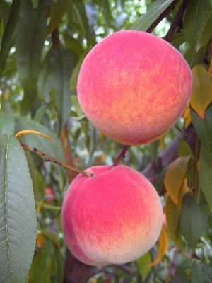 Encore - Peach Varieties