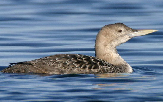 Yellow-billed Loon - Bird Species | Frinvelis jishebi | ფრინველის ჯიშები