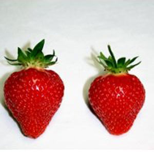 Mayflower - Strawberry Varieties