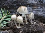 Coprinellus angulatus - Fungi Species