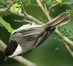 Carolina Chickadee - Bird Species | Frinvelis jishebi | ფრინველის ჯიშები