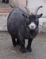 Pygmy Goat - Goats Breeds | txis jishebi | თხის ჯიშები
