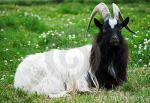 Bagot Goat - Goats Breeds | txis jishebi | თხის ჯიშები