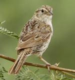 Cassin's Sparrow - Bird Species | Frinvelis jishebi | ფრინველის ჯიშები