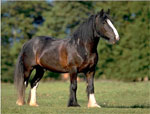 Clydesdale | Horse | Horse Breeds