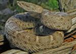 RIDGE-NOSED RATTLESNAKE  <br />Crotalus willardi | Snake Species