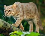 Rusty-Spotted Cat - wild cats - lynx | ფოცხვერი | focxveri