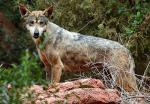 The Iranian Wolf - wolf species | mglis jishebi | მგლის ჯიშები