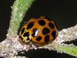 Common Spotted Ladybird - Ladybird species | CHIAMAIAS JISHEBI | ჭიამაიას ჯიშები