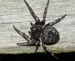 Walnut Orb-weaver | Spider species