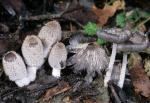 Coprinopsis lagopus - Fungi Species