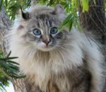 American Longhair | კატა | კატები | კატის ჯიშები