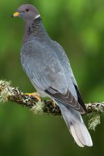 Band-tailed Pigeon - Bird Species | Frinvelis jishebi | ფრინველის ჯიშები