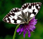 Marbled White - Butterfly species | PEPLIS JISHEBI | პეპლის ჯიშები