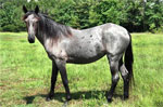 Carolina Marsh Tacky | Horse | Horse Breeds