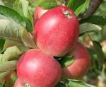 Worcester Pearmain | Apple Species
